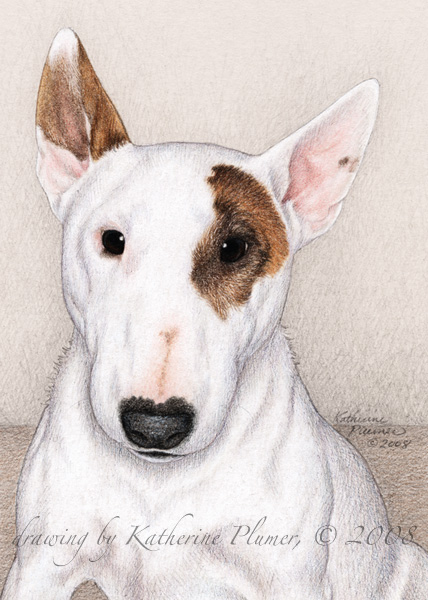 Miniature Bull Terrier Dog Drawing